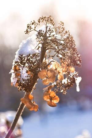 freeze dried: Flores secas hydrangea con snowcap en sol de invierno