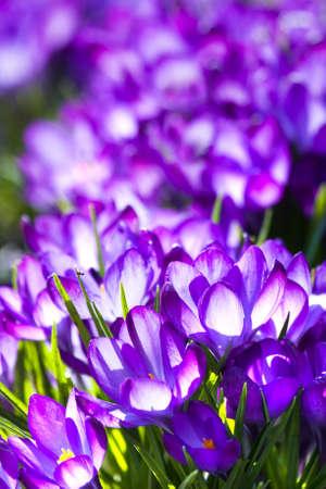 Purple spring crocus blooming in March photo