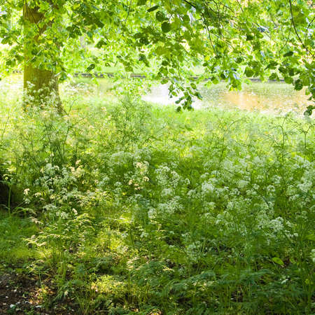 Green and white colors of Cow Parsley in  spring photo