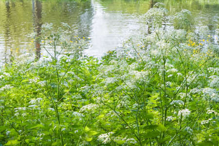 Blooming white Cow Parsley at the waterside in spring  photo