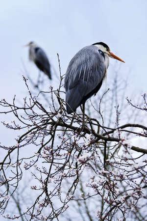 gray herons: Grey herons in a blooming tree in spring - vertical image Stock Photo