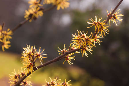 hamamelis: Flowering branches of yellow Witch-hazel in spring