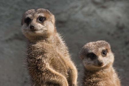 herpestidae: Two meerkats standing in the sunshine and looking sidewards
