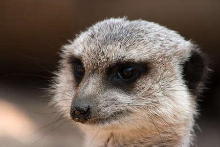 herpestidae: Portrait of meerkat with dirty sandy nose Stock Photo