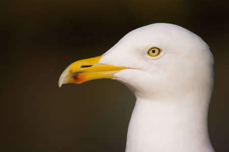 Close view to head of Herring gull in winter sunlight Stock Photo - 6722253