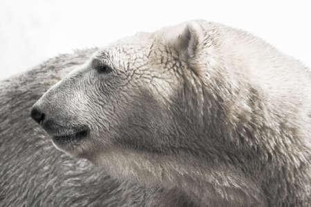 backward: Portrait of polar bear looking backward - horizontal Stock Photo