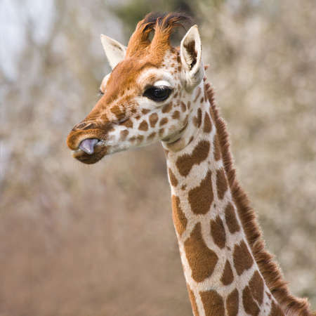 cropped out: Baby giraffe portrait with tongue out of beak- square cropped image Stock Photo
