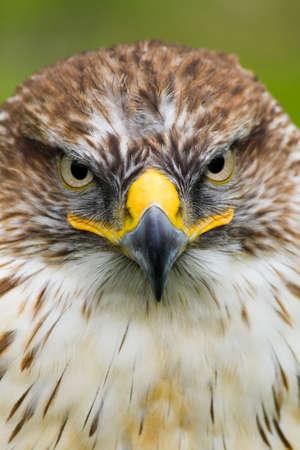 cherrug: Portrait of Saker Falcon - vertical image