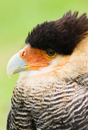 Southern crested Caracara in side angle view photo