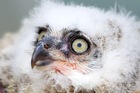 Great Horned Owl young white nestling in close view photo