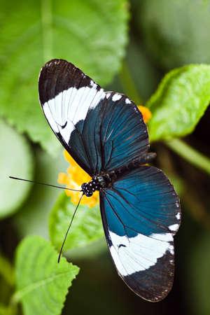 Heliconius cydno tropische vlinder, ook wel genoemd Heliconius longwing  Stockfoto