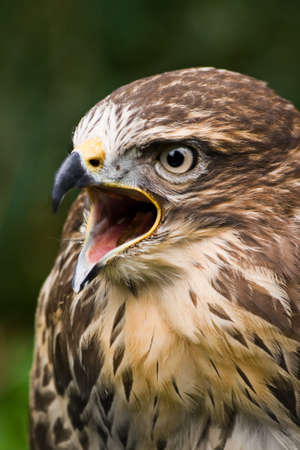 Portrait of screaming buzzard with green background photo