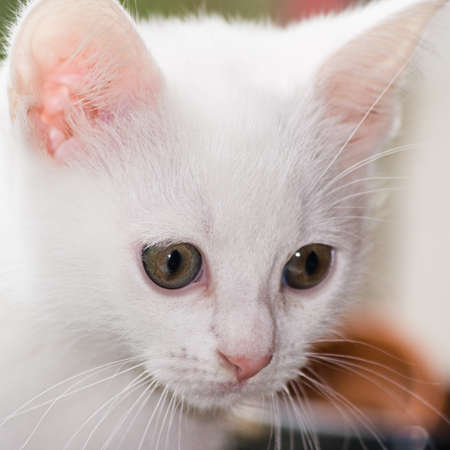 Head of white, six weeks old kitten in close view Stock Photo - 7187660