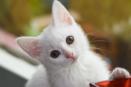 Little white, six weeks old kitten playing Stock Photo - 7187663