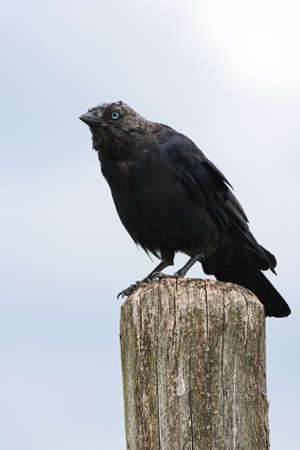 Jackdaw sitting on a picket with blue sky background photo