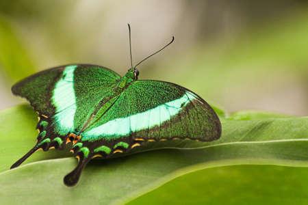 Green Peacock Swallowtail rustend op groene bladeren  Stockfoto