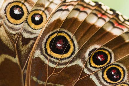 Schließen Sie Teil der Schmetterling Flügel aus ein blaues Morpho  Standard-Bild - 7303556