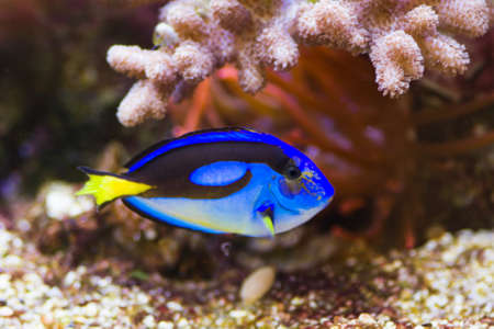 hepatus: Blue Tang swimming, with sea anemone in background