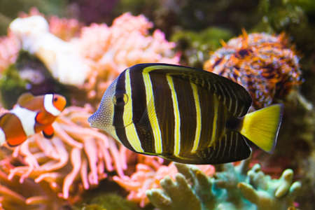 sailfin: Pacific Sailfin Tang with clownfish and coral in background Stock Photo