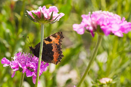 Small tortoiseshell on pink flowers drinking nectar on summerday photo