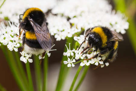 Bumble bees on flowers in summer busy gathering nectar photo
