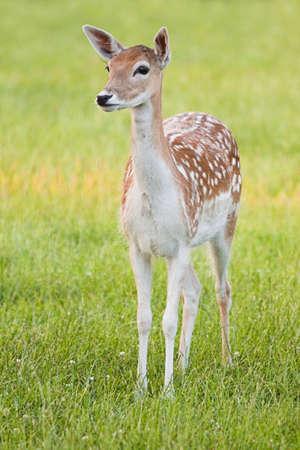 Deer jachères, jeune femme en soirée de lumière, vigilant - image verticale  Banque d'images - 7303555