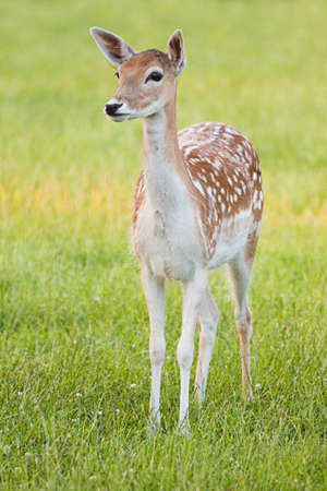 Fallow Deer, young female in evening light, watchful - vertical image photo