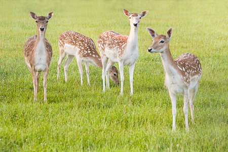 Group of Fallow Deer in evening light - horizontal image  photo