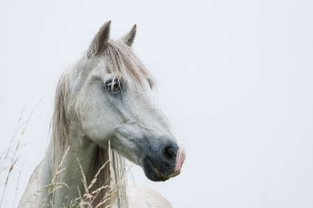 Head of white horse with light blue background - horizontal image