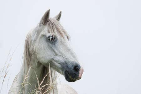 Hoofd van witte paard met licht blauwe achtergrond - afbeelding van de horizontale
