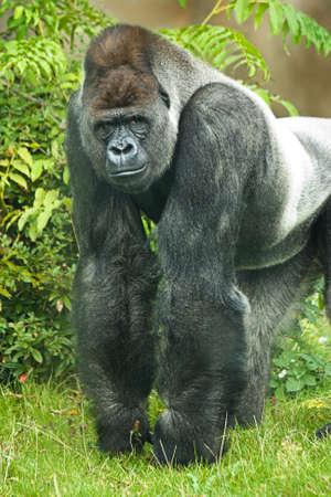 Portret van zilver rug gorilla op zoek direct in camera Stockfoto