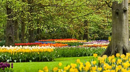 Kleurrijke grenzen met tulpen zijn onder beechtrees bloeien in het voorjaar van Stockfoto