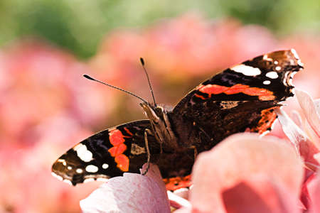 roze: Butterfly Red admiral on pink Hydrangea flowers in summer Stock Photo