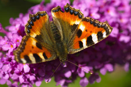 Small tortoiseshell on butterfly bush of Budleya photo