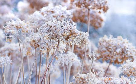 De ijzige bloemen van de winter - frosted hortensia met rijp Stockfoto