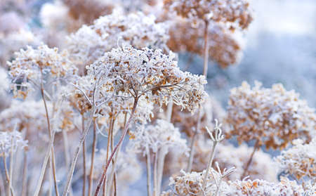 The icy flowers of the winter - frosted hydrangea with ripe Stock Photo