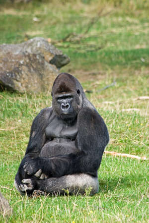 looking around: Gorilla silverback sitting on grass relaxing and looking around