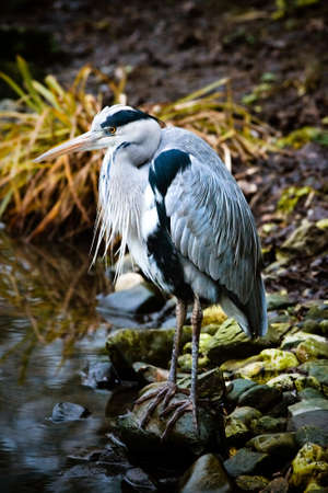 Grey heron in autumn rain at the waterside standing on boulders Stock Photo - 8691582