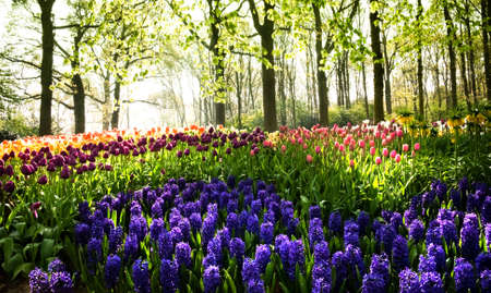 Tulips and hyacinths under the trees at sunrise in spring