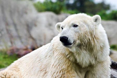 northpole: Polarbear - Ursus maritimus - looking backward