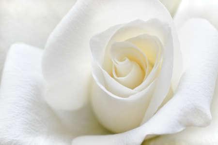 Mooie roos met zachte witte bloemblaadjes in nauwe weergave