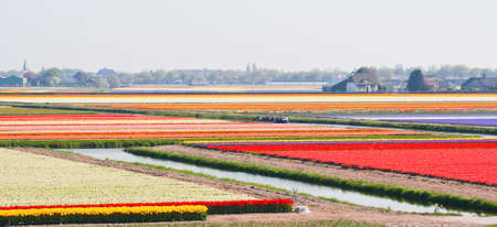 Boat sailing between blooming bulbfields near Keukenhof Lisse, the Netherlands in springtime photo