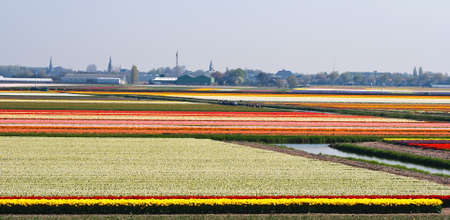 Boats sailing between blooming bulbfields near Keukenhof Lisse, the Netherlands in springtime photo