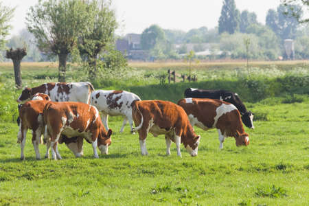 Cows grazing in Dutch polder landscape in spring Stock Photo - 9430401