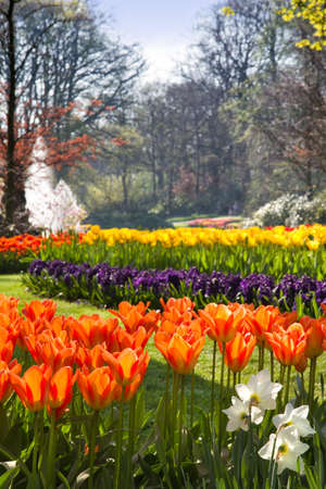 Spring in park with with beautiful flamy orange tulips in foreground