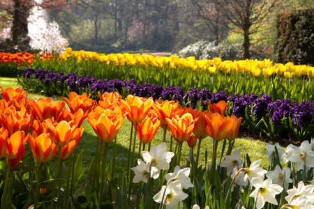 flamy: Spring in park with with beautiful flamy orange tulips in foreground