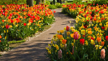 Path through colorful tulips and daffodils in spring garden