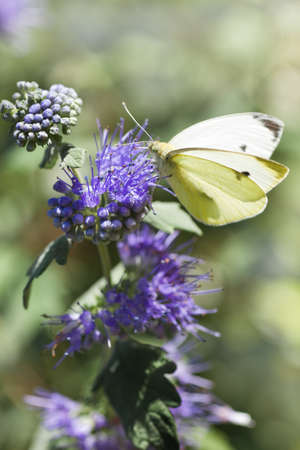 Butterfly Large white in summer on Caryopteris clandonensis Heavenly Blue also called Bluebeard photo