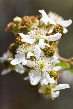brambleberry: Flores blancas y frutos inmaduras en la rama de brambleberry en verano