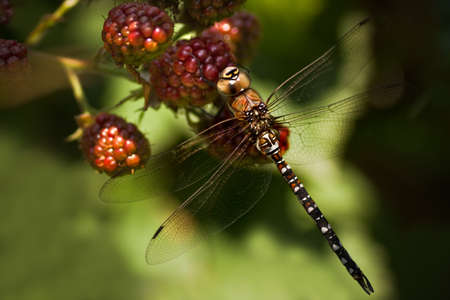 Dragonfly Aeshna mixta or Migrant hawker resting on riping brambleberries Stock Photo